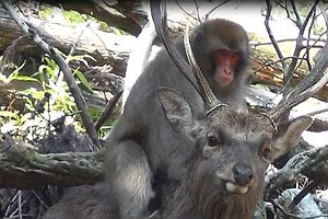 Scientists Say Japanese Monkeys Are Having 'Sexual Interactions' With Deer