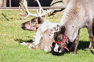 Rounding Up Reindeer: Zoo Prepares To Evacuate As Fire Burns Close