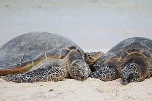 Climate Change Means 'Virtually No Male Turtles' Born In ...