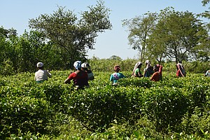 Tea Farmer In India Leads Charge For Organic, Evades The ...