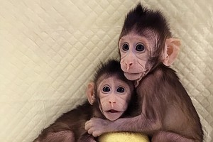 Chinese Scientists Clone Monkeys Using Method That Create...