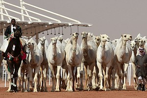 A Dozen Camels Disqualified From Saudi Beauty Pageant Ove...