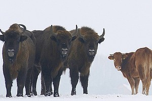 Rebellious Cow Finds Winter Home Among Polish Bison