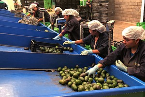 Blood Avocados No More: Mexican Farm Town Says It's Kicke...