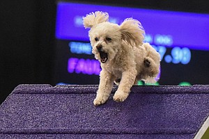 Dogged Competitors Chase Fame In Westminster's Friskier F...