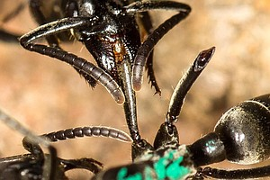 WATCH: Ants Act As Medics, Treat Wounds Of Injured Nest-M...