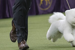 Win Like Flynn: A Bichon Frise Is This Year's Top Dog At ...