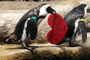 WATCH: Penguins Carrying Valentines Will Melt Your Heart