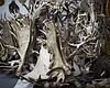 Boom In Antler Pet Chews May Have Opened A Black Market