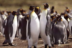 Scientists Predict King Penguins Face Major Threats Due T...
