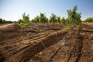 From Almonds To Rice, Climate Change Could Slash Californ...