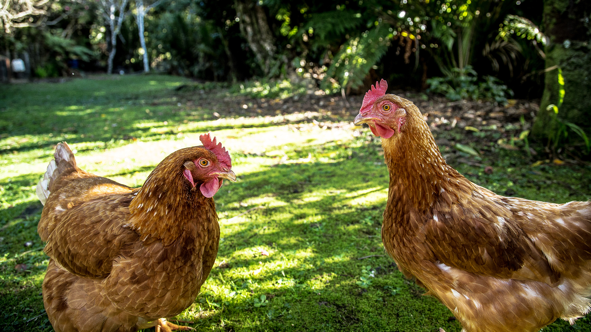 Do Backyard Chickens Need More Rules? | KPBS