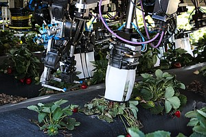 Robots Are Trying To Pick Strawberries. So Far, They're N...