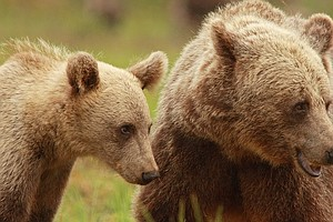 New Study Finds Mother Bears Are Sticking Around With The...