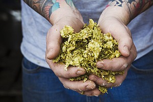 GMO Yeast Mimics Flavors Of Hops, But Will Craft Brewers ...