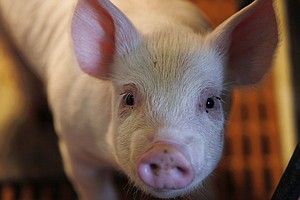 Hog Farmers Worry They'll Be Further Squeezed By China's ...