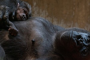 Welcome, 'Little One': Critically Endangered Gorilla Born...