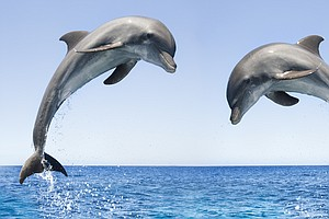 Bottlenose Dolphins Spotted Off Canada's Pacific Coast Fo...