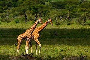 'A Silent Extinction': Finding Peace And Saving Giraffes ...