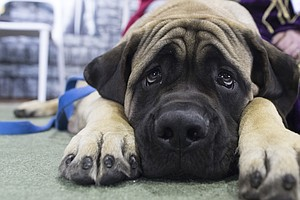 United Airlines Will Ban Dozens Of Dog, Cat Breeds In New...