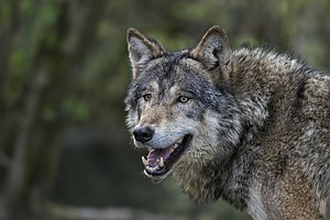 Landowner Aims To Bring Wolves Back To Scotland, Centurie...
