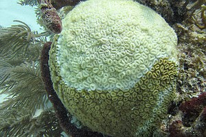 Battered By Bleaching, Florida's Coral Reefs Now Face Mys...