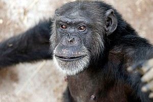Report: Most Former Research Chimps Should Move To Retire...