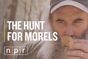 VIDEO: Hunting For Morels, The Most Delectable Mushroom O...