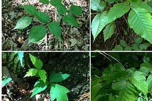 Don't Touch! A Scientist's Advice For Spotting Poison Ivy...