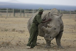 Scientists Hope Lab-Grown Embryos Can Save Rhino Species ...