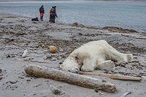 Polar Bear Shot And Killed 'In An Act Of Self Defense,' C...