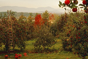 A Few More Bad Apples: As The Climate Changes, Fruit Grow...