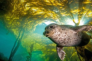 Need To Track A Submarine? A Harbor Seal Can Show You How
