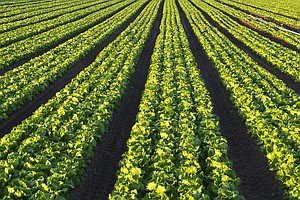 Investigators Track Contaminated Lettuce Outbreak To A Cattle Feedlot