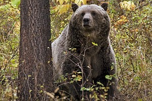 Grizzlies Have Recovered, Officials Say; Now Montanans Ha...