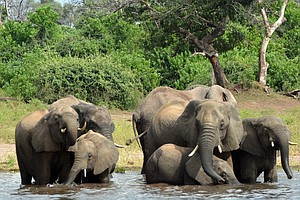 Nearly 90 Elephants Found Dead Near Botswana Sanctuary, K...