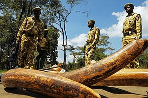 DNA Test Helps Conservationists Track Down Ivory Smugglers
