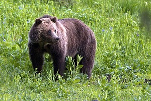 Judge Restores Grizzly Bears' Protections As Endangered S...