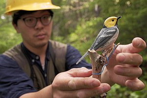 Old-Growth Forests May Help Songbirds Cope With Warming Climate