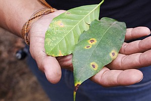 Coffee Rust Threatens Latin American Crop; 150 Years Ago, It Wiped Out An Empire