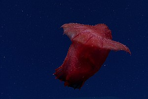 Behold The Headless Chicken Of The Deep Sea