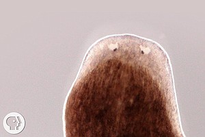 These Flatworms Can Regrow A Body From A Fragment. How Do They Do It And Coul...