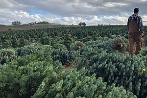 Real And Fake Christmas Tree Sellers Fight For American H...