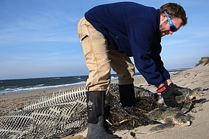 More Than 200 Sea Turtles, Stunned By Cold, Wash Up Off Cape Cod
