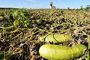 Scientists Are Fighting For The Stricken Pickle Against T...