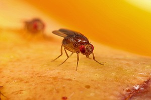 When And Where Fruit Flies First Bugged Humans