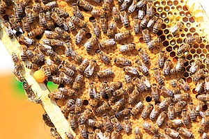 World's First Insect Vaccine Could Help Bees Fight Off Deadly Disease