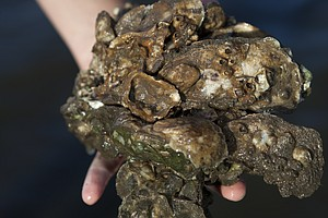 Gulf Oyster Reefs Are Hurting. Now There's Help From Oil ...