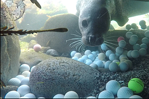 Teenage Diver Finds Tons Of Golf Balls Rotting Off California