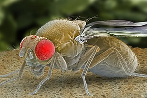 Sick And Tired? Scientists Find Protein That Puts Flies T...